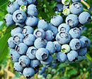 Locally grown fresh picked blueberries at Gro Moore Farms in Henrietta, NY