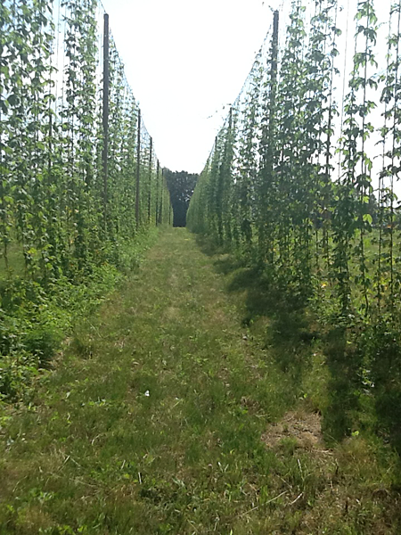 Gro-Moore Hops Yard.  Hops for sale in Henrietta, New York-cascade, nugget, perle, & sterling