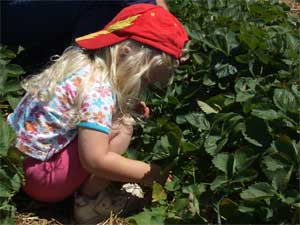 Call it U-Pick, or Pick Your Own, it's always strawberry fun at  Gro-Moore Farms in Henrietta, New York